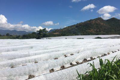 ¿Cómo se cultiva el melón en Centroamérica? ¿Por qué no lo hacemos en Colombia?